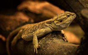 Preview wallpaper iguana, lizard, reptile, log