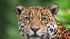 Preview wallpaper jaguar, face, color