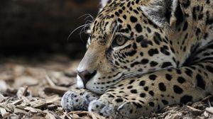 Preview wallpaper jaguar, predator, snout, big cat