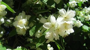 Preview wallpaper jasmine, blossom, branches, spring, greens