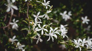 Preview wallpaper jasmine, flower, flowers, flowering, bush, plant