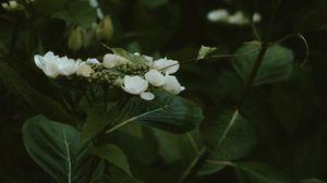 Preview wallpaper jasmine, flowers, flowering, bush, plant