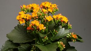 Preview wallpaper kalanchoe, pot, blooming, indoor