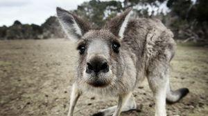 Preview wallpaper kangaroo, funny, surprising, nose, curious
