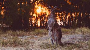 Preview wallpaper kangaroo, funny, wildlife, sunset