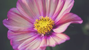 Preview wallpaper kosmeya, flower, petals, purple, macro
