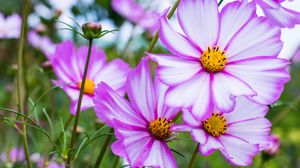 Preview wallpaper kosmeya, flowers, petals, macro, purple