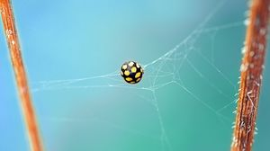 Preview wallpaper ladybug, bug, web, insect