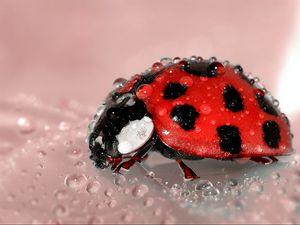 Preview wallpaper ladybug, drop, surface