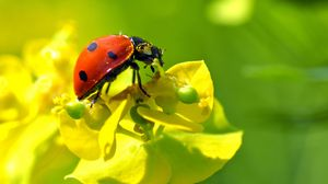 Preview wallpaper ladybug, flower, insect, macro