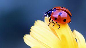 Preview wallpaper ladybug, flower, petal, close-up