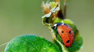 Preview wallpaper ladybug, grass, drops, dew, wet