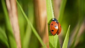 Preview wallpaper ladybug, grass, wings, insect