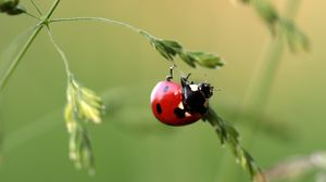 Preview wallpaper ladybug, insect, grass, close-up