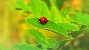 Preview wallpaper ladybug, insect, leaf, macro, plant