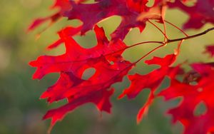 Preview wallpaper leaves, branch, red, autumn, macro
