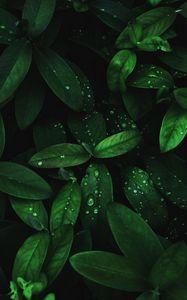 Preview wallpaper leaves, drops, dew, plant, moisture, dark