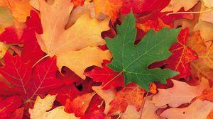 Preview wallpaper leaves, fall, fallen, maple