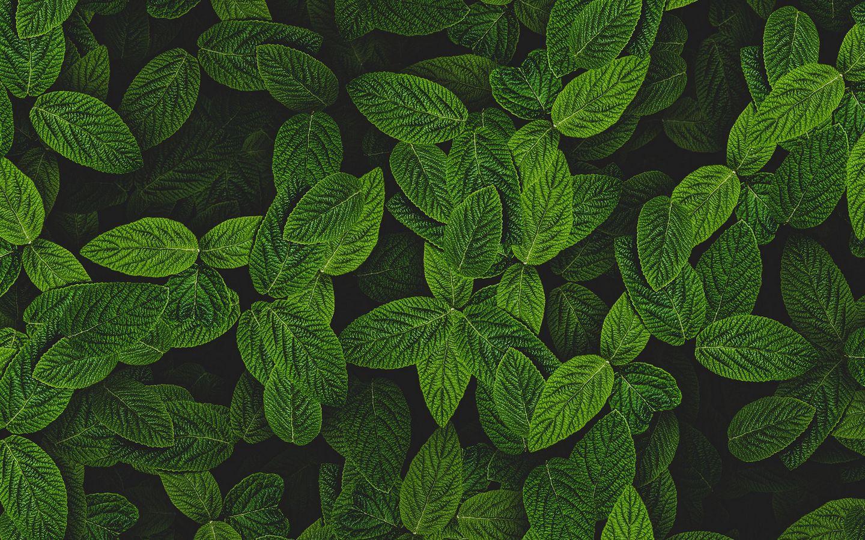 1440x900 Wallpaper mint, leaves, plant, bushes