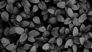 Preview wallpaper leaves, plants, bw