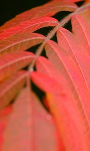 Preview wallpaper leaves, stem, red, autumn, macro