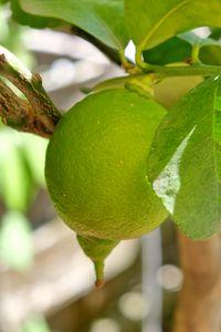Preview wallpaper lemon, citrus, fruit, leaves, branch, macro, green