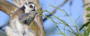 Preview wallpaper lemur, animal, branches, wildlife