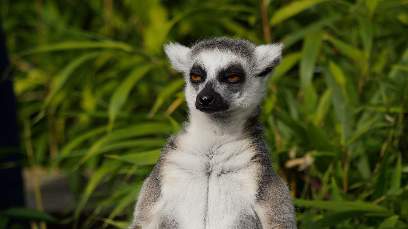 1366x768 Wallpaper lemur, animal, meditation
