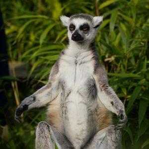 Preview wallpaper lemur, animal, meditation