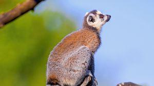 Preview wallpaper lemur, animal, tail, furry