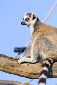 Preview wallpaper lemur, animal, tree, glance