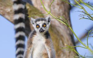 Preview wallpaper lemur, animal, wildlife