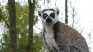 Preview wallpaper lemur, fluffy, animal, glance