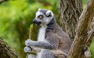 Preview wallpaper lemur, food, tree, snack, rest