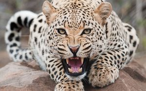 Preview wallpaper leopard, aggression, face, teeth