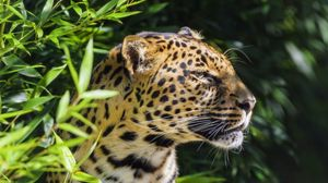 Preview wallpaper leopard, animal, predator, wildlife