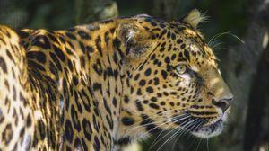 Preview wallpaper leopard, animal, predator