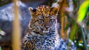 Preview wallpaper leopard, baby, look, predator
