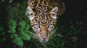 Preview wallpaper leopard, big cat, predator, muzzle, look, look out