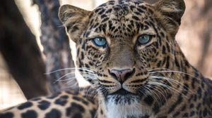 Preview wallpaper leopard, big cat, predator, sight