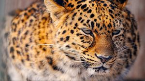 Preview wallpaper leopard, cat, big, snow, sad