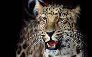 Preview wallpaper leopard, face, aggression, look, predator