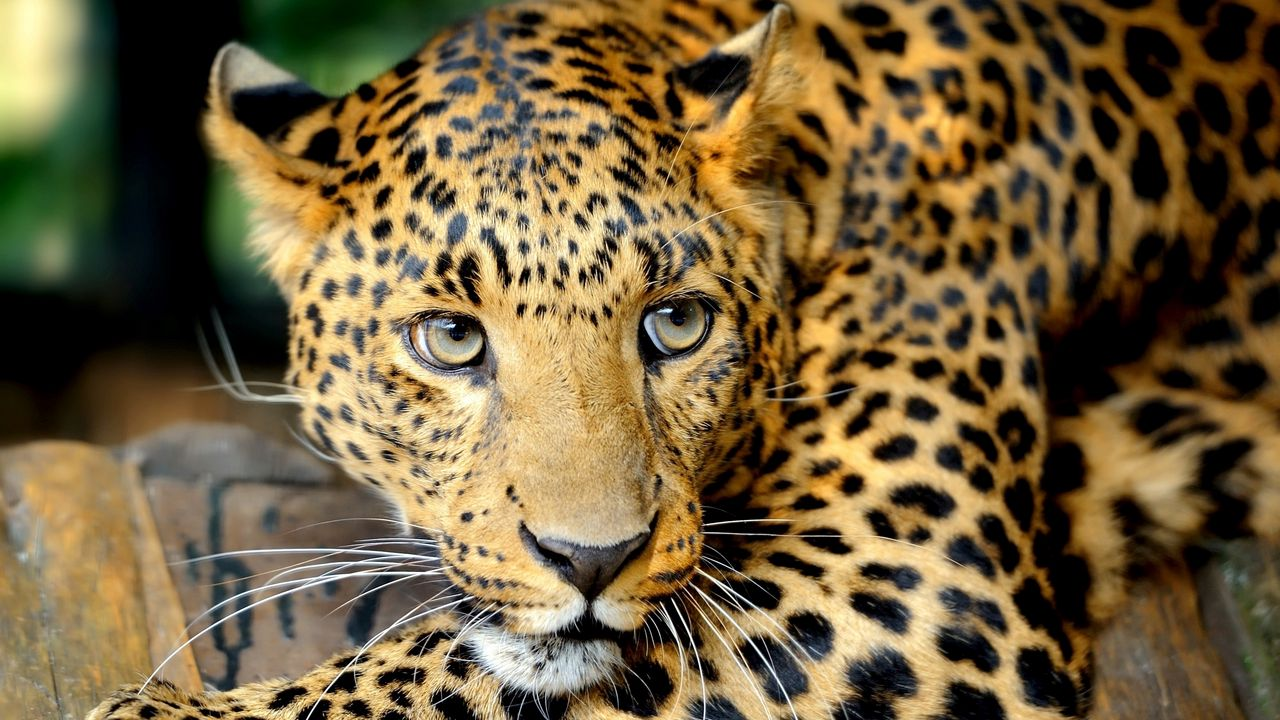 Wallpaper leopard, face, predator