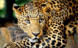 Preview wallpaper leopard, face, predator