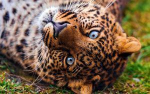 Preview wallpaper leopard, face, predator, lie, look, grass