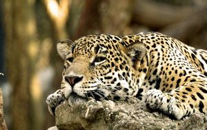 Preview wallpaper leopard, face, predator, lying