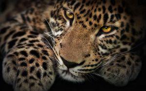 Preview wallpaper leopard, face, shadow, predator