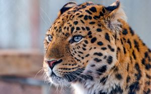 Preview wallpaper leopard, face, spotted, predator