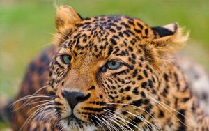 Preview wallpaper leopard, face, spotted, predator, big cat