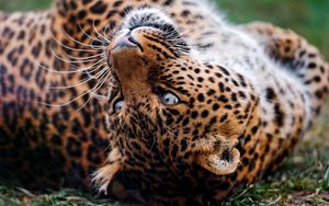 Preview wallpaper leopard, face, tumble, predator